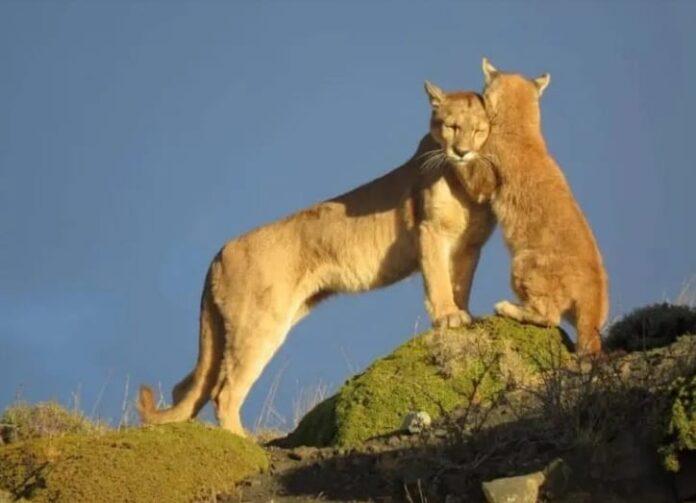 Pumas da Patagonia 4 2021